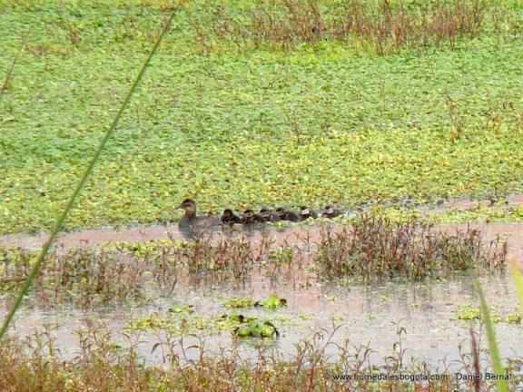 Pato turrio hembra con sus 6 crías