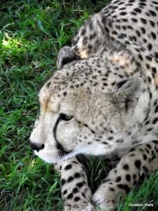 Cheetah at Emdoneni Cat Rehabilitation Center