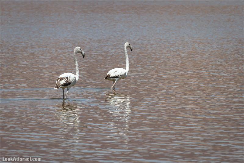 О фламинго и других пернатых