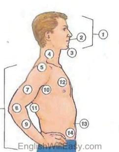 parties du corps humain
