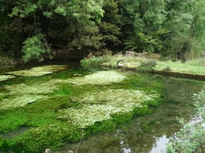 Plant life in the River Bradford