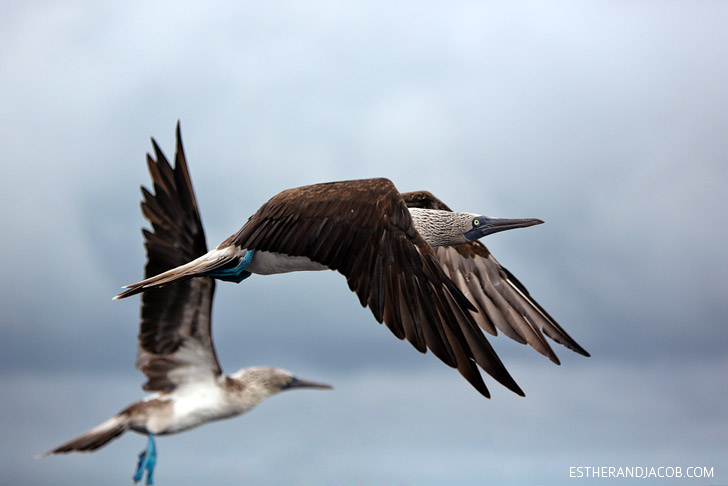 Blue Footed Booby bird colony in the Wetlands Isabela Island // Galapagos Birds.