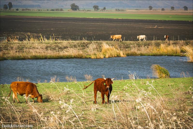 Одно фото коровьего королевства