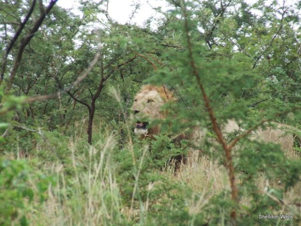 Lion in the bush at Hluhluwe Imfolozi Game Reserve