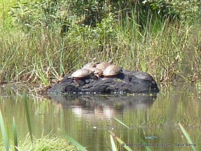 Cinco tortugas hicotea en el humedal El Salitre