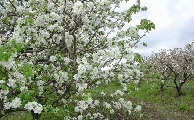 яблоки в Хвалынске