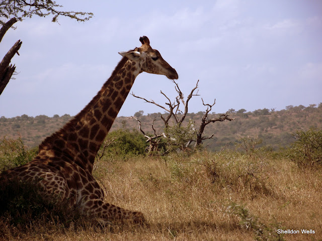 Giraffe in the shade at Hluhluwe Game Reserve