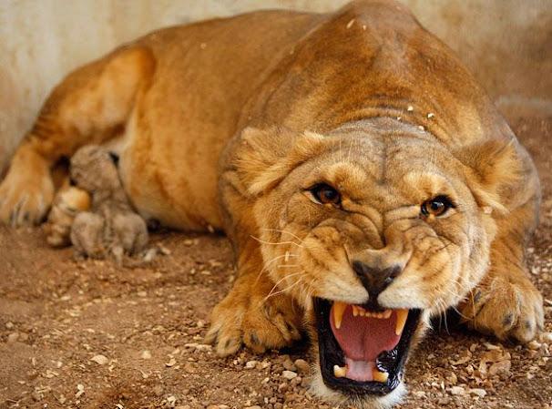 Sarò leonessa