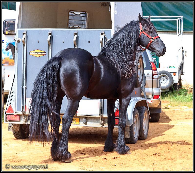 Stallion Show 2011 - Лучшие лошади Израиля