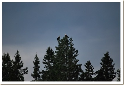 2 eagles in tree top