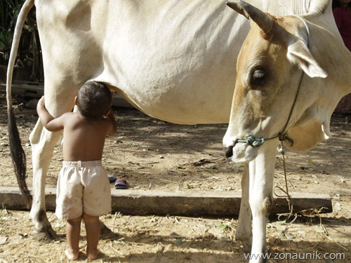 Cambodian-boy-suckles-from-cow-after-parents-leave-1