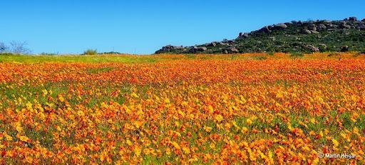 Namaqualand-flores-1
