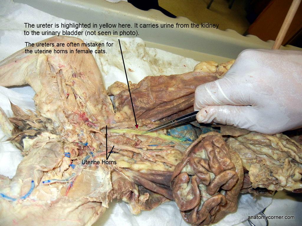 Cat Ureter L