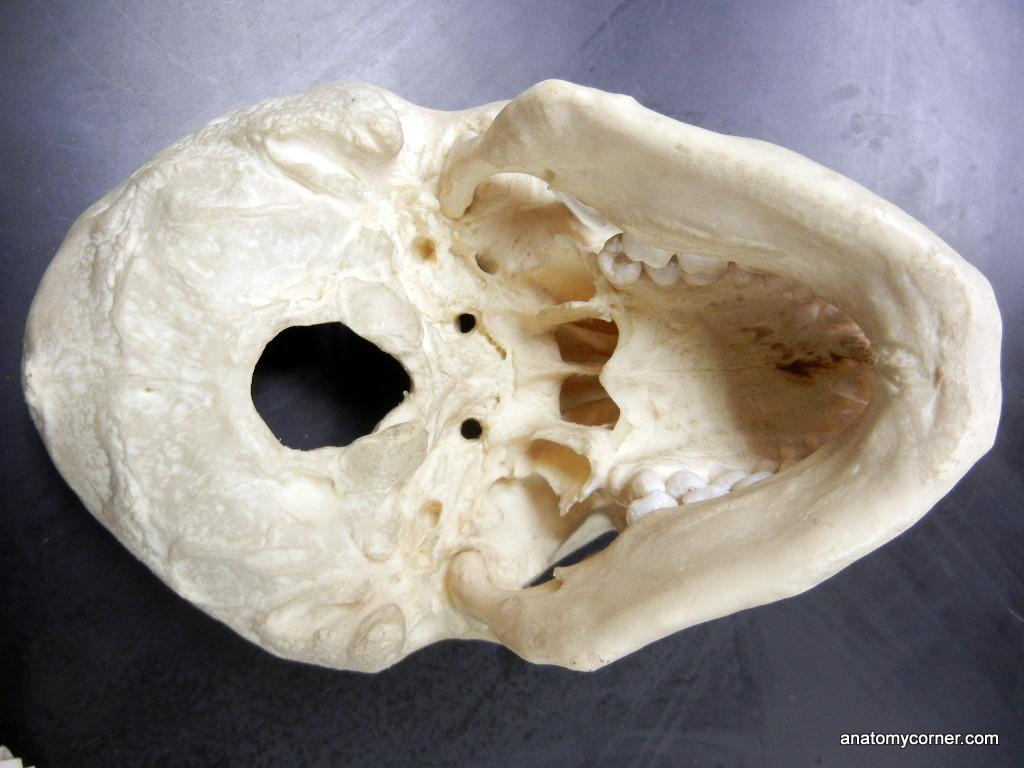 Skull Magnum Unlabeled