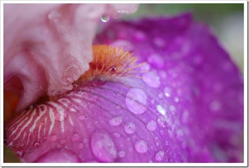 IRIS pink