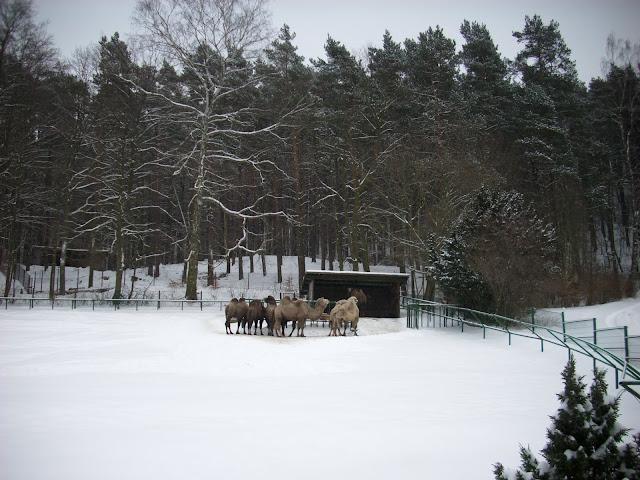 Wybieg baktriaów świetnie prezentuje się także zimą