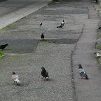 Pigeons on the sidewalk in Chorzów Stary.