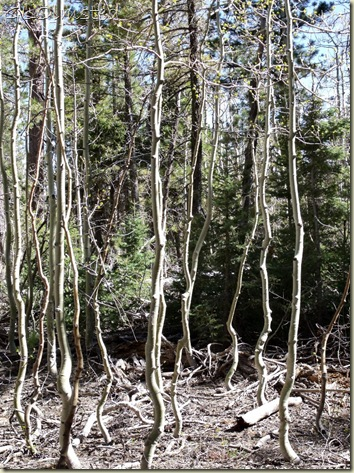 Dancing aspen saplings FR610 West Kaibab National Forest Arizona