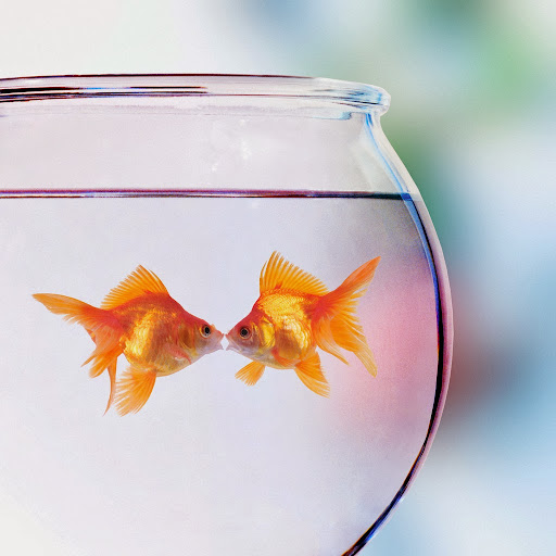 Goldfish Kissing --- Image by © Denis Scott/Corbis