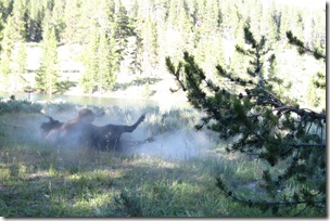 Several bison were dusting themselves, Hayden Valley, Yellowstone NP