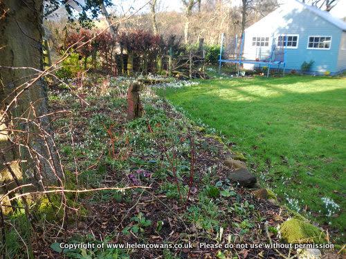 SNowdrop garden1