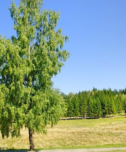 Copac de poienita