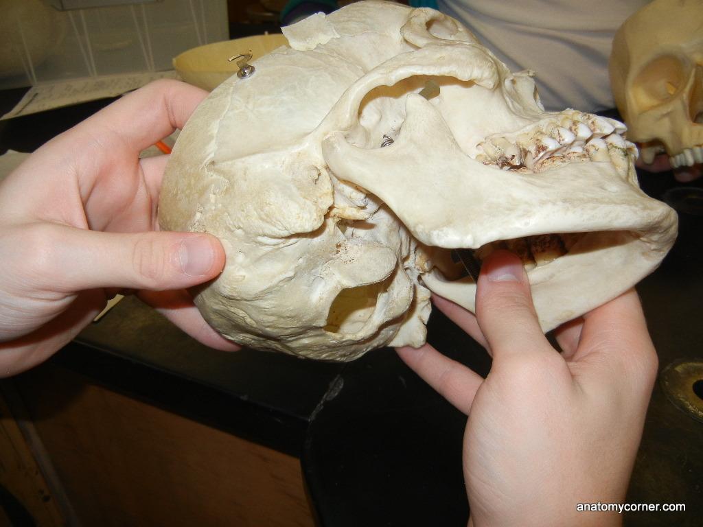 Skull Condyles Unlabeled