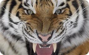 z tiger1