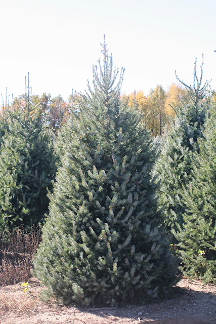 Image result for serbian spruce trees