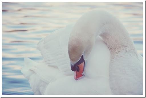 Mute Swan Soft 2