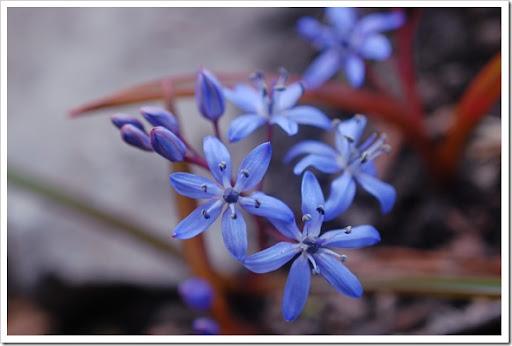 scilla spring