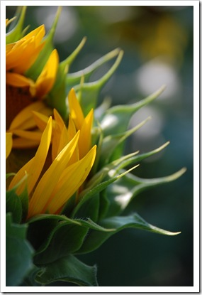 Sunflower Closed