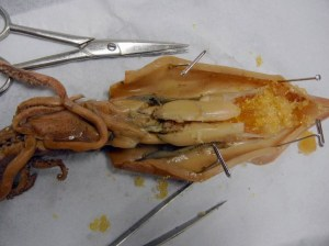 Squid Dissection | The Biology Corner