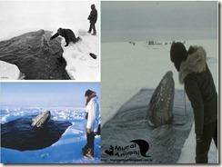 milagre-baleias (3)