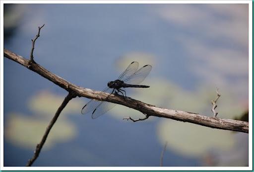 Dragonfly lilypad