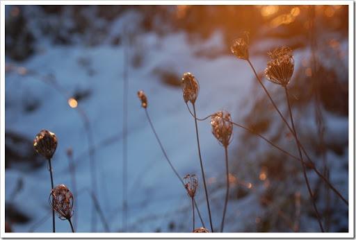Queen Anne's Frost