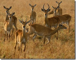 A herd of antelopes in Queen Elizabeth National Park Uganda