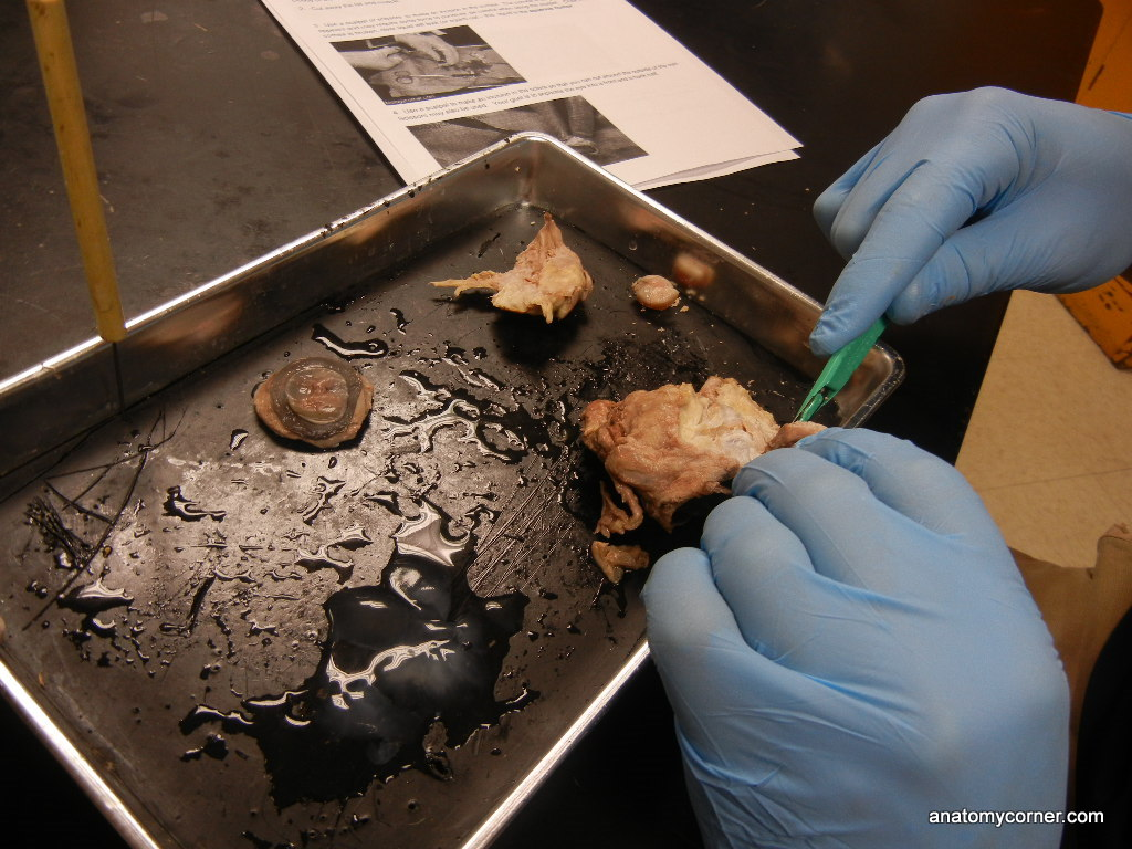 Eye Dissection