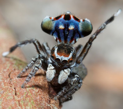 peacock-spider-0