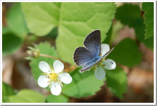 BUTTERFLY BLUE (12)