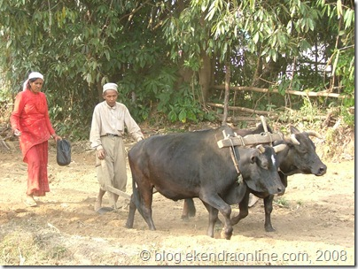 Traditional farming in Nepal- a long after seen revived scene of true farming