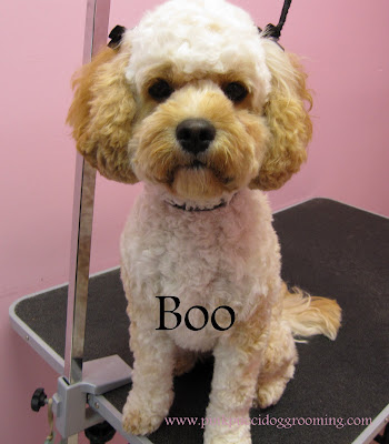 boo the cockapoo