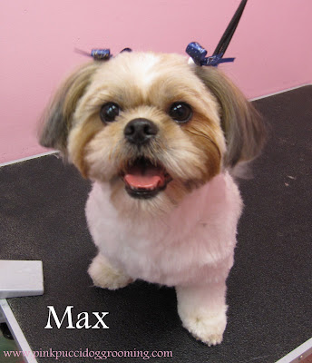 Max The Shih Tzu