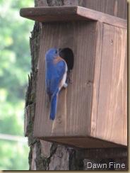 Bluebirds dells_20090508_002