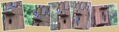 View Bluebirds