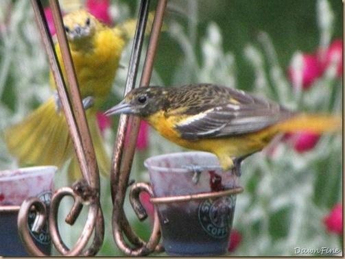 birds at feeder_20090624_029