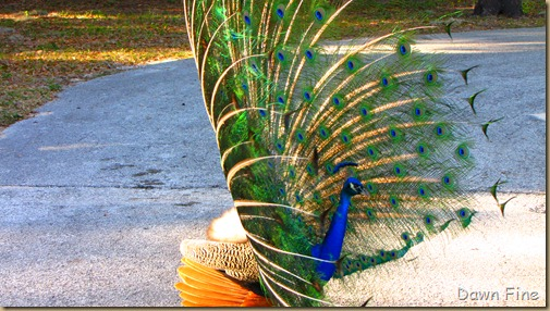 Peacocks @Magnolia Park, Apopka Florida_113