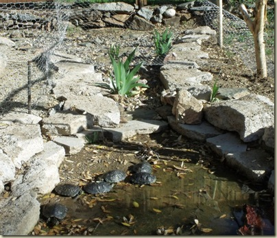 06 Red-eared sliders in pond surrounded by chicken wire Yarnell AZ (800x686)