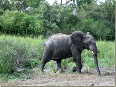 Tailless Elephant Kruger National Park Mpumalanga South Africa