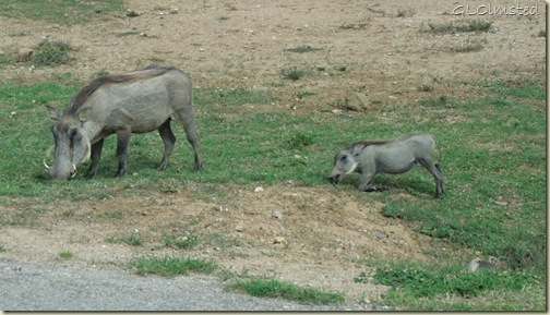 Warthogs Addo Elephant National Park Eastern Cape South Africa